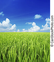 Rice field - Landscape of rice field with blue sky