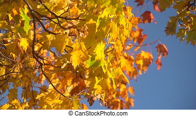 Falling autumn leaves - Close-up of autumn leaves of maple...
