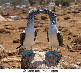 blue-footed boobies, galapagos islands, ecuador