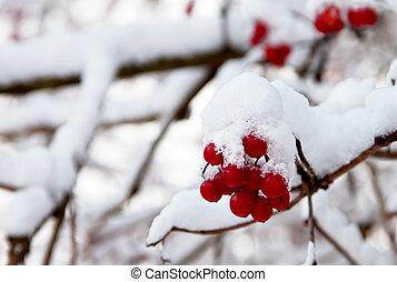 Red berries of Viburnum in the snow on a branch