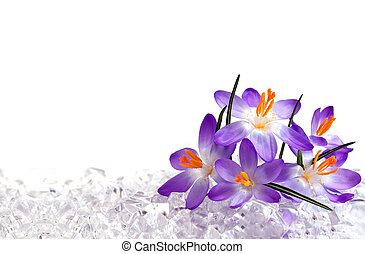 Crocus flowers in ice