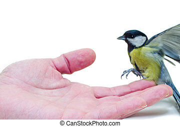 The titmouse to sit down on a hand - Great Tit Parus major...