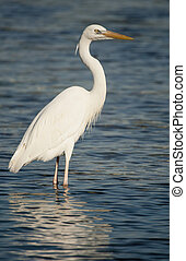 Great Blue Heron, Ardea herodias - Great Blue Heron, white...