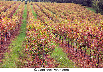italian vineyard - vineyard in autumn, vines for wine...