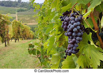 vineyard  - hills  with vineyard for production italian wine