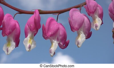 Branch of  bleeding heart flowers in spring garden