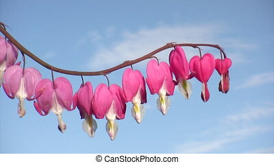 Bleeding hearts flowers on blue sky background close-up shot...