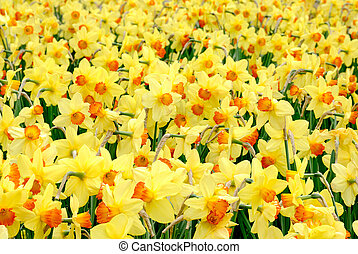 The yellow joy of springtime - Outdoor shot of yellow...