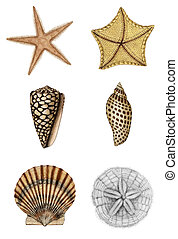Shell Assortment 2 - Raster Illustration. Hand colored 19th...