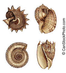 Shell Assortment 1 - Raster Illustration. Hand colored 19th...