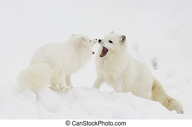 Arctic Foxes playing in deep snow