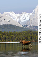 Female Moose in lake drinking water with Rocky Mountains in...