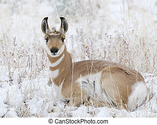 Pronghorn laying on snow and grass at Yellowstone National...