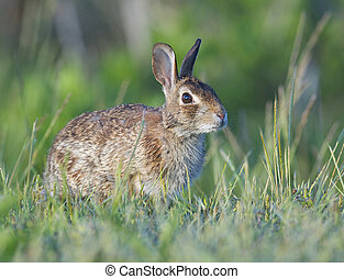 Eastern Cottontail Rabbit in tall grass