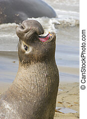 Endangered Elephant Seal portrait bellowing
