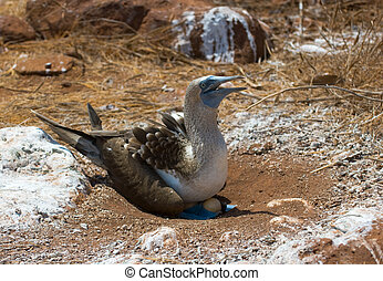 blue-footed booby on eggs, galapagos islands, equador