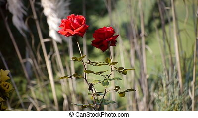 Two Red Roses Moving With The Wind