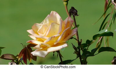 White Speckled Rose Close Up Moving With The Wind