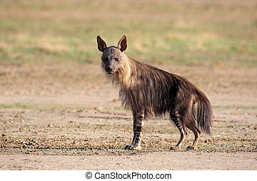 Brown hyena (Hyaena brunnea), Kalahari desert, South Africa...
