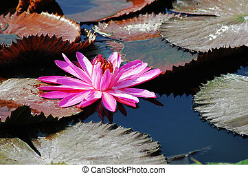 Blooming lotus flower in the pond