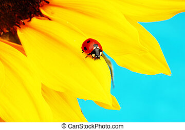 ladybug on sunflower blue background