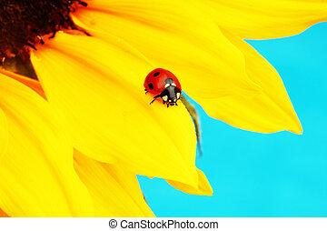 ladybug on sunflower blue background