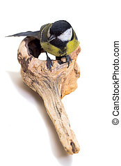 Great Tit, Parus Major - Great Tit Parus major on white...