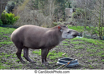 tapir in its enclosure at dublin zoo ireland