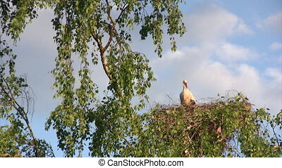 Stork in nest - Femail big white stork in nest