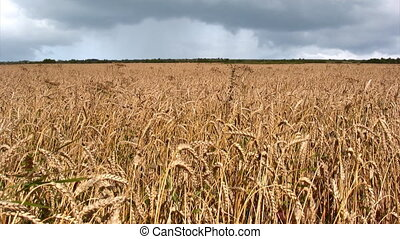 Wheat field - Ripe wheat field before the rain
