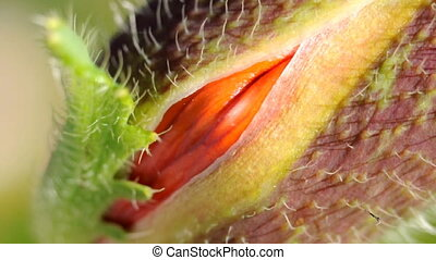 Poppy bud - Macro shot of poppy flower head opening, very...