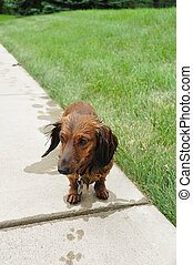 Wet Red Long-Haired Dachshund