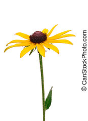 Black-Eyed Susan Rudbeckia Hirta a Native Wildflower