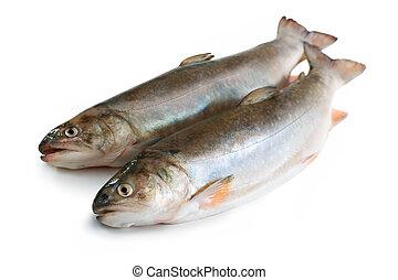 Salvelinus, salmonid. Isolated on the white background