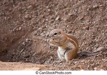 Squirrel Cape - Cape ground squirrels Xerus inauris
