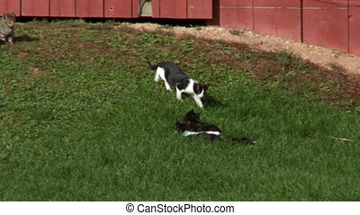 Barnyard Kittens Fight 4 - Barnyard Kittens play Fighting...