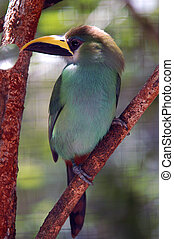 green tropical bird with yellowbalck beak from Belize zoo