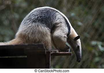 Giant Anteater siting and bending forward, Belize Zoo