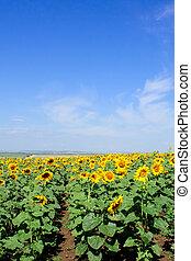 sunflowers - field of sunflowers