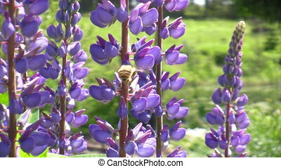 Honey bee on  lupine wildflower