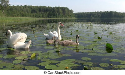 Swans family swimming - Family of swans - both parents and...