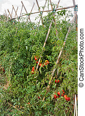 cultivation - tomatoes cultivation in little vegetable...