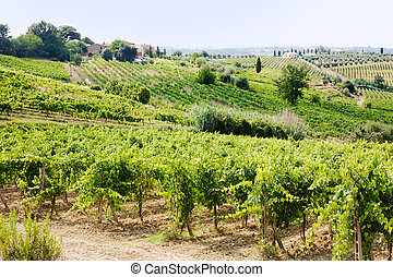 vineyard in Tuscany - hills of tuscany with vineyard for...