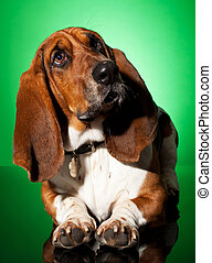 curious basset dog, seated on a green background