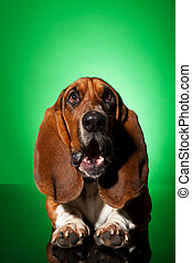 basset dog with mouth open - curious basset dog with mouth...