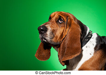 Basset Hound's face in front of a white background