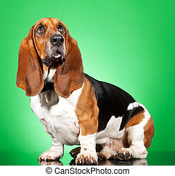 Basset Hound dog - Profile of a Basset Hound dog looking up...