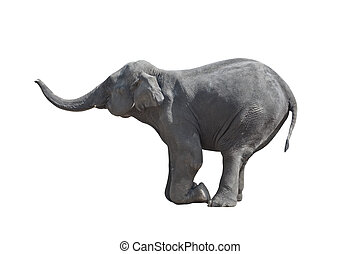 Kneeled elephant - Kneeled grey elephant isolated, against...