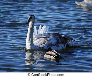 cygnet - The nestling of a swan changes color of the...