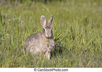 Cute Cottontail Rabbit - a cute cottontail rabbit in green...